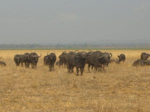Waterbuffalo at Lake Liwonde